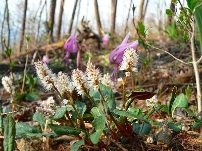ハルトラノオ咲く雑木林