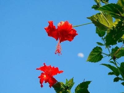 青空と真紅のハイビスカス