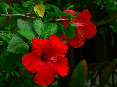 鮮紅色のハイビスカス