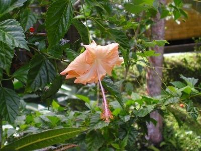 オレンジ系のハイビスカス