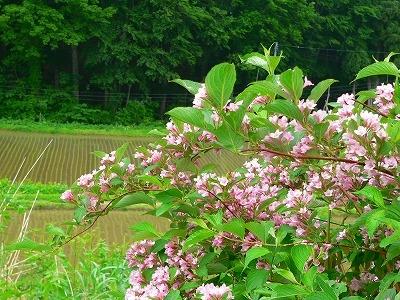 田の畔に咲くタニウツギ