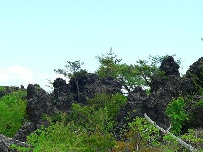 岩場の樹木