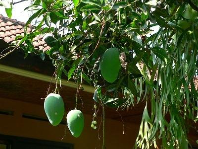 民家の軒先のマンゴー