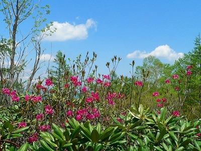 シャクナゲ林のアカヤシオ