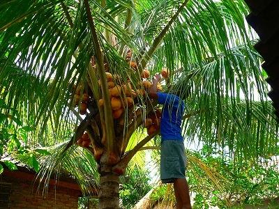 たわわのイェロウココナッツ