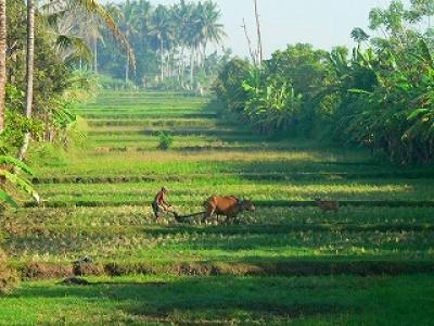 牛の田圃耕作