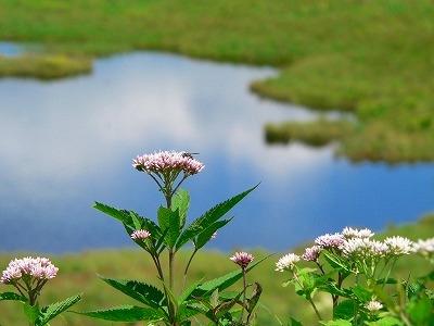 ヨツバヒヨドリと池