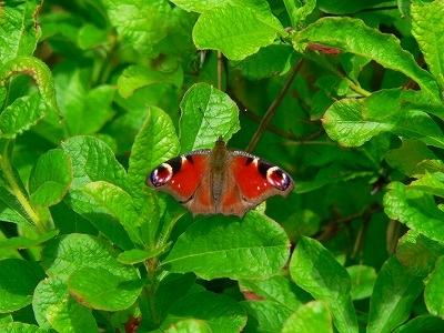 高原のクジャク蝶
