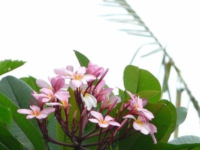ピンクのカンボジア