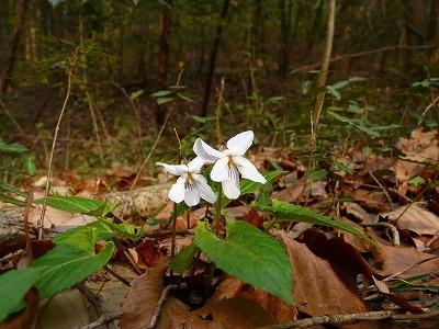 雑木林のナガバノスミレサイシン