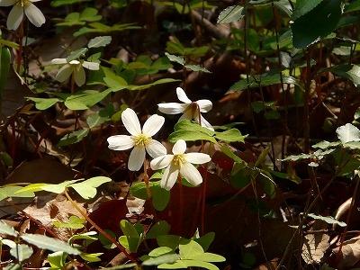 林床のカントウミヤマカタバミ