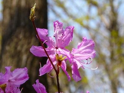 紅紫ミツバツツジ
