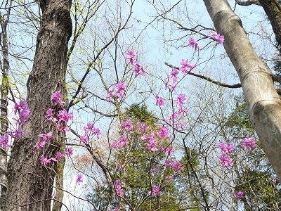 大木の間のミツバツツジ
