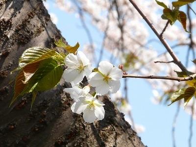 咲き始めヤマザクラ