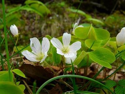 コミヤマカタバミの花