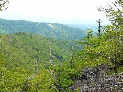 亜高山の天然カラマツ