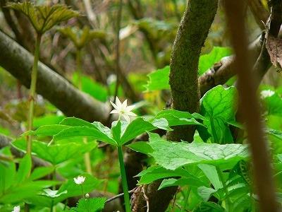 キヌガサソウ咲く