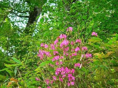 ムラサキヤシオ咲く