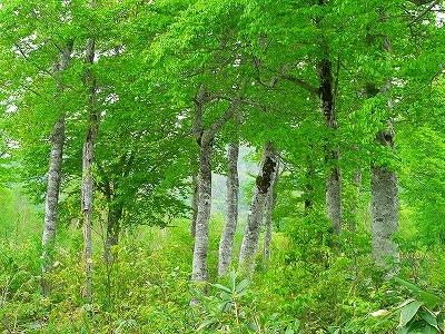 ブナ大木林