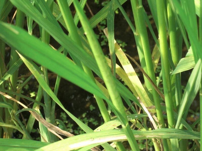 稲の茎にポッコリと、ふくらみがあります。 その中には早く出たが...  IJUIN HOSPIT