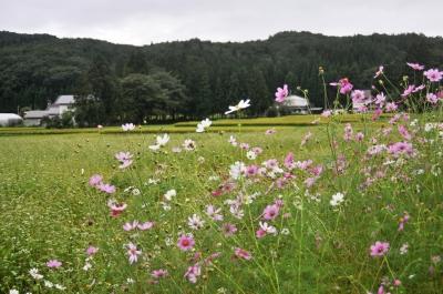 秋の花コスモス