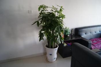 中国の観葉樹