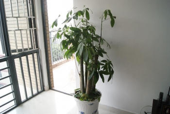 中国 観葉植物
