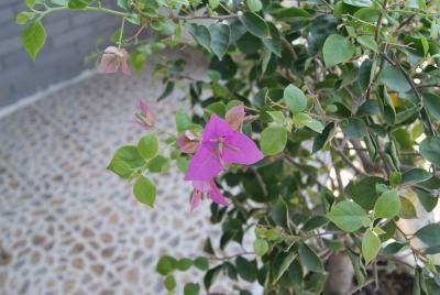深センの花