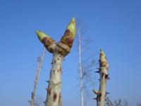 蕎麦畑のタラの芽
