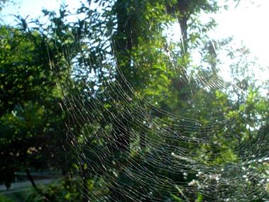 世田谷のクモの巣
