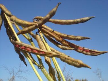 道楽農園の大豆