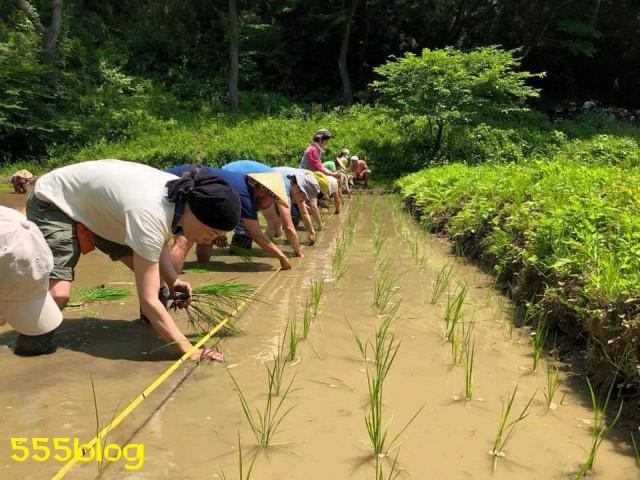 Now Tenki 農に学ぶ 谷戸田サポーター 米作り(7)田植え 555blog 555nat ホロホロ日記