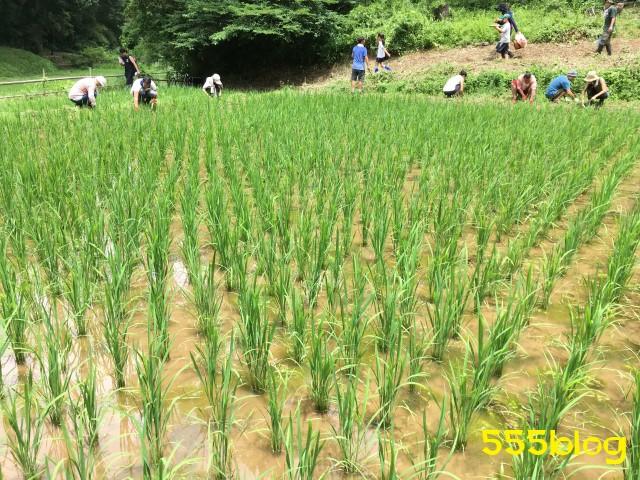 Now Tenki 農に学ぶ 谷戸田サポーター 米作り(9)除草2 555blog 555nat ホロホロ日記