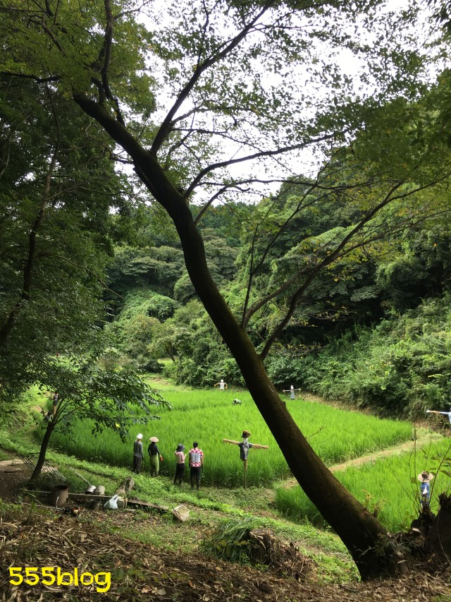 Now Tenki 農に学ぶ 谷戸田サポーター 米作り(10)実り 555blog 555nat ホロホロ日記
