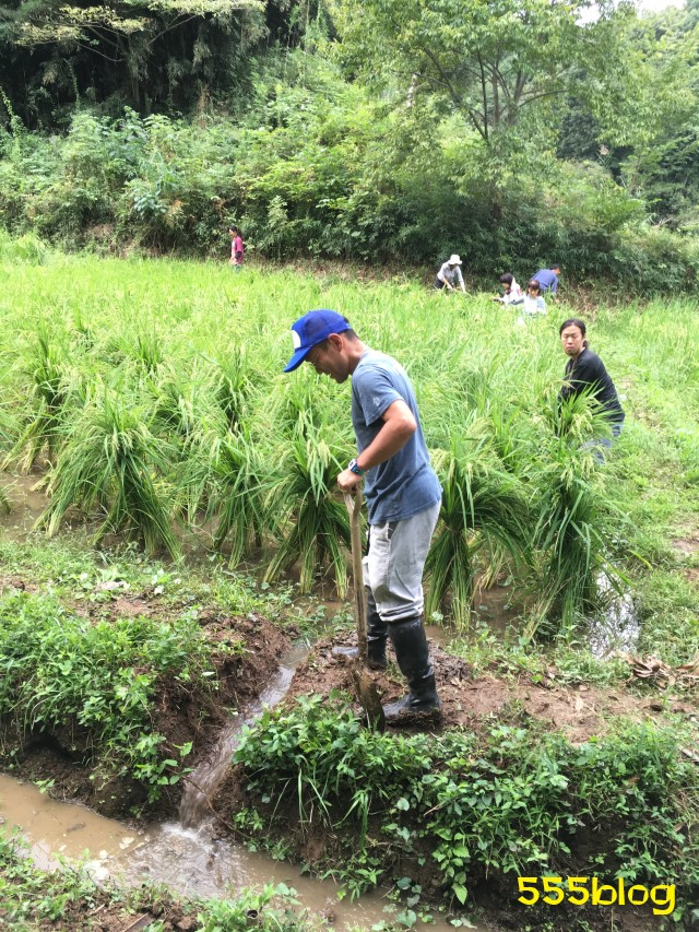 Now Tenki 農に学ぶ 谷戸田サポーター 米作り(12)田の水抜き 555blog 555nat ホロホロ日記