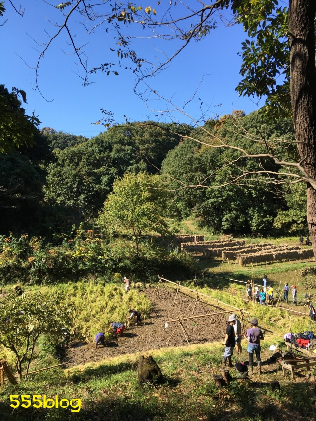 Now Tenki 農に学ぶ 谷戸田サポーター 米作り(13)稲刈り 555blog 555nat ホロホロ日記