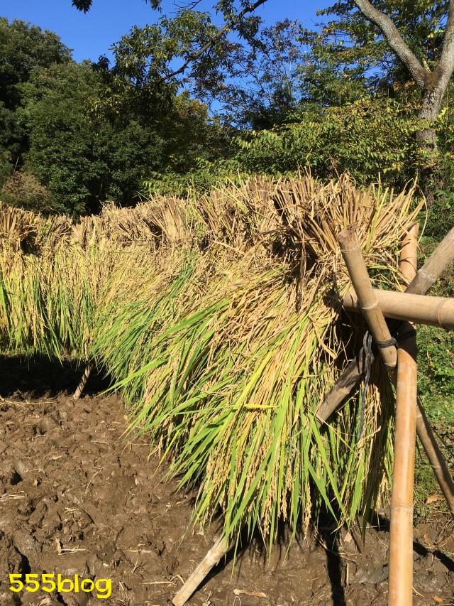 Now Tenki 農に学ぶ 谷戸田サポーター 米作り(14)天日干し 555blog 555nat ホロホロ日記