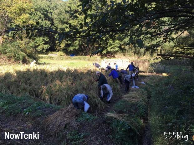 週末シティ・ファーマー Now tenki ノーテンキ 農に学ぶ 無農薬無肥料栽培 自然農 稲刈り 2019.11.10 ホロホロ日記