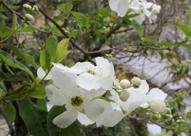 利休梅の木