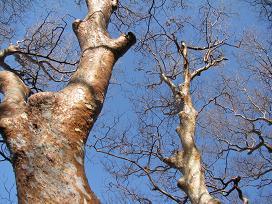 尾鈴山のヒメシャラ200315