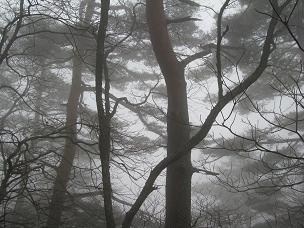 こまゆみやまの松林200426