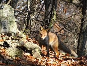 太郎山の狐201129