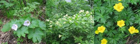 夕張岳の花210721