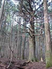 武甲山の大杉211121
