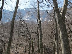 大山のブナ220502