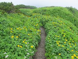 石狩岳お花畑220716