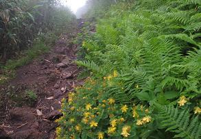 オトギリソウの登山道220718