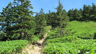 御飯岳笹220904