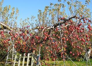 221204善光寺裏の林檎