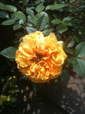 黄色のバラ1